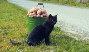 gatto nero e secchio di patate