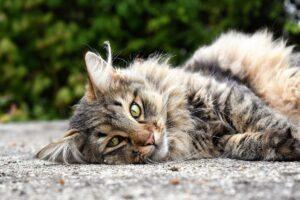 gatto grigio steso sul pavimento