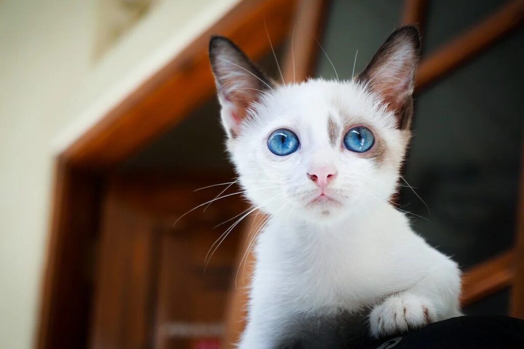 gattino con gli occhi celesti