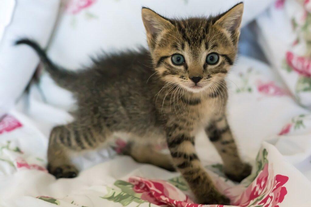 gattino con il pelo dritto