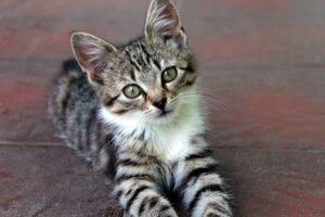gattino a pelo lungo