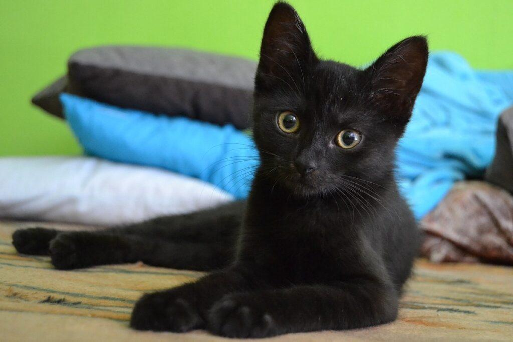 gattino nero con gli occhi gialli