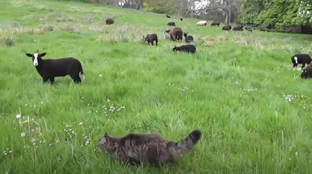 micio fattoria bodacious