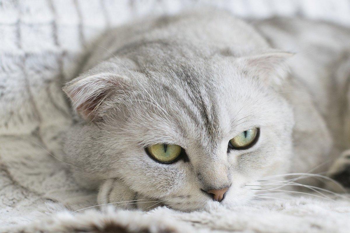 gatto chiaro occhi verdi