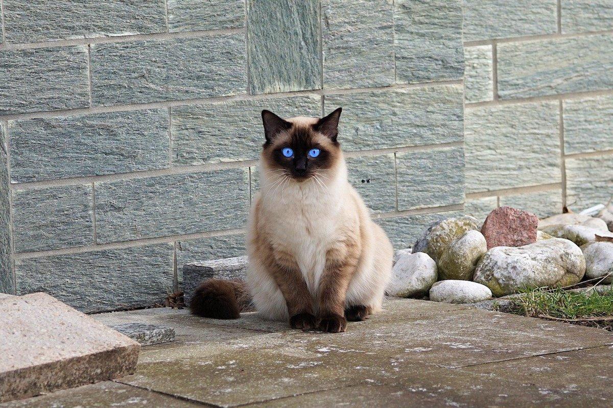 siamese occhi blu intenso