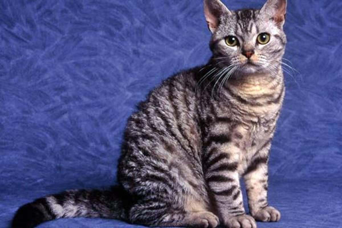 gatto pelo a strisce