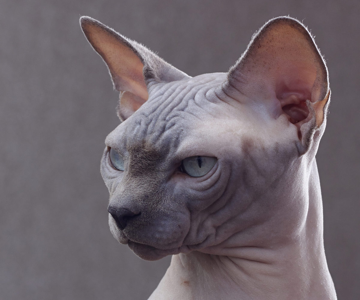gatto sphynx