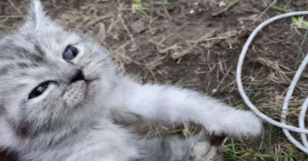 gatto grigio salvato dalla trappola
