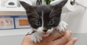 Spillo gatto in adozione