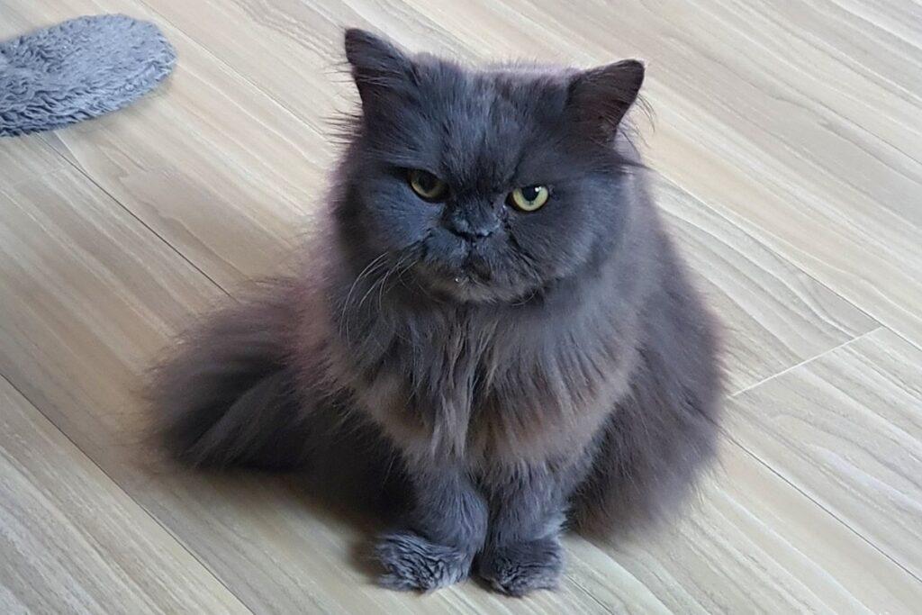 gatto buffo con l'espressione arrabbiata
