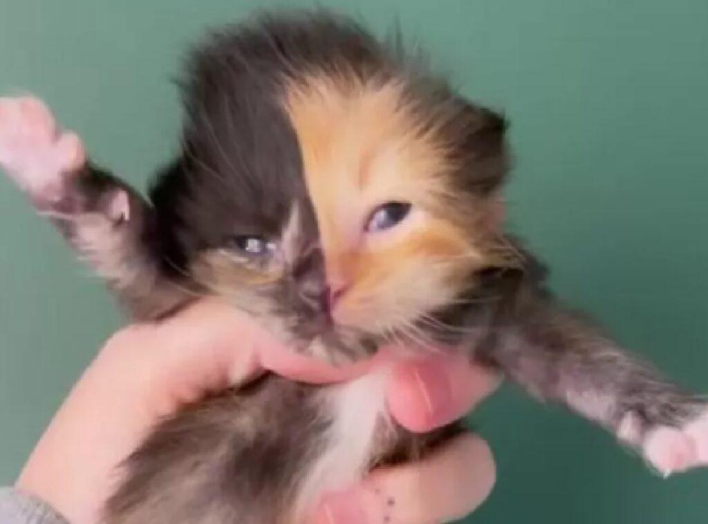 apricot gattino chimera notizia usa