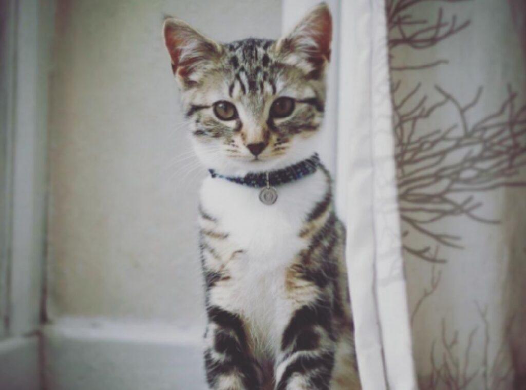 gatto bianco grigio collare