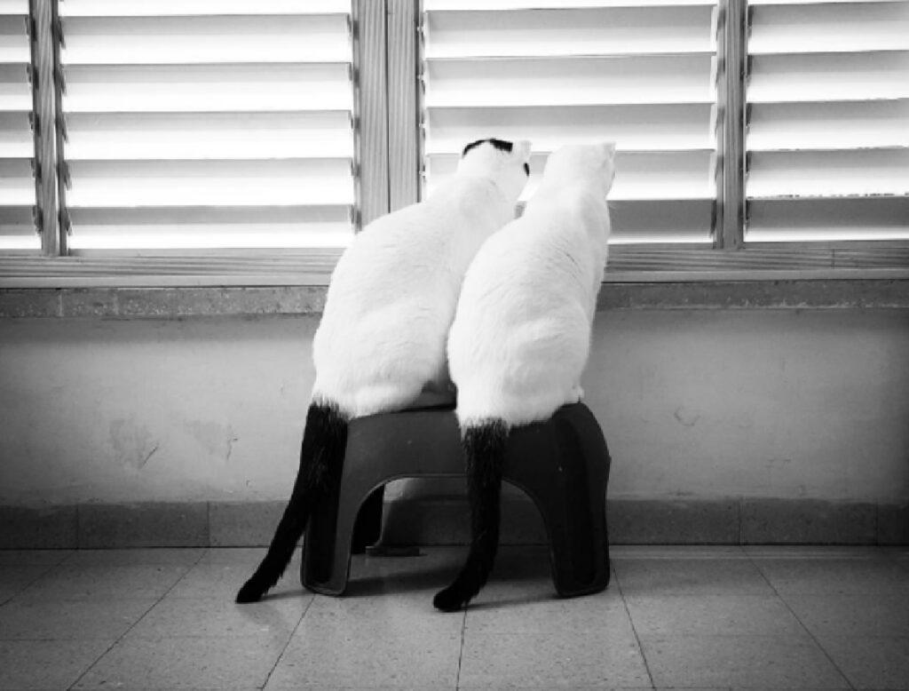 gatti bianchi e neri finestra