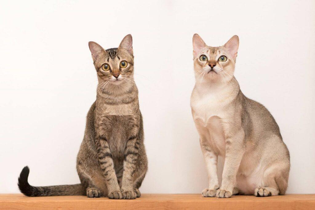 gatti singapura meravigliosi