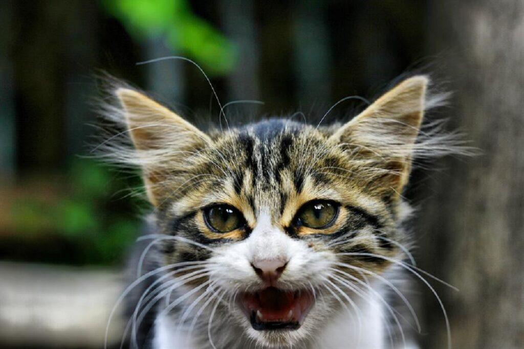 gatto miagolio rabbia