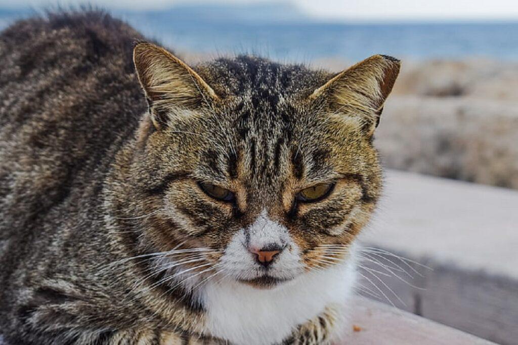 gatto arrabbiato faccia