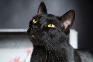 gatto osserva serio