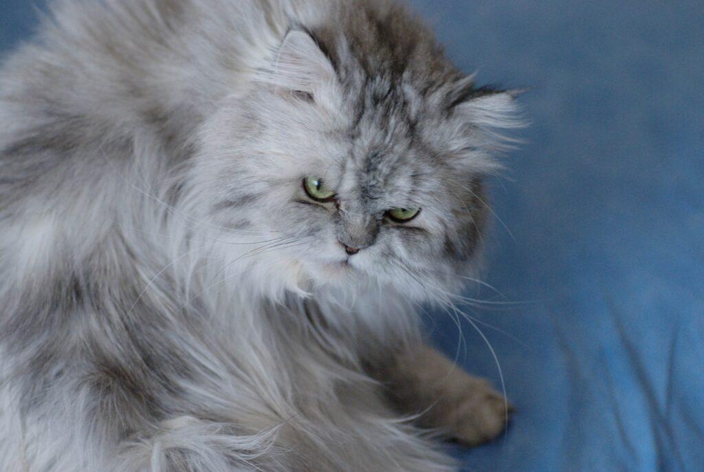 gatto adorabile peloso