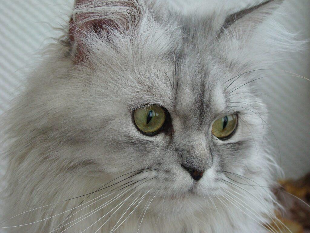 gatto grigio peloso