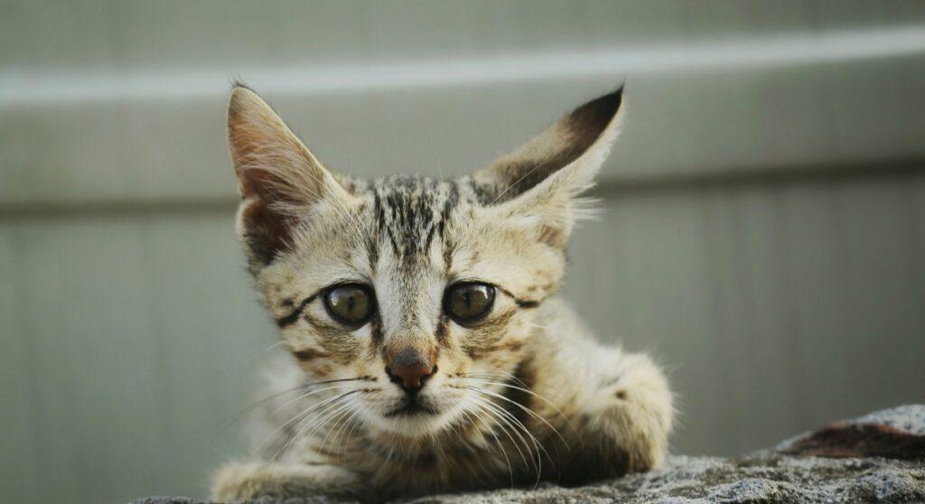 gatto dolce faccia