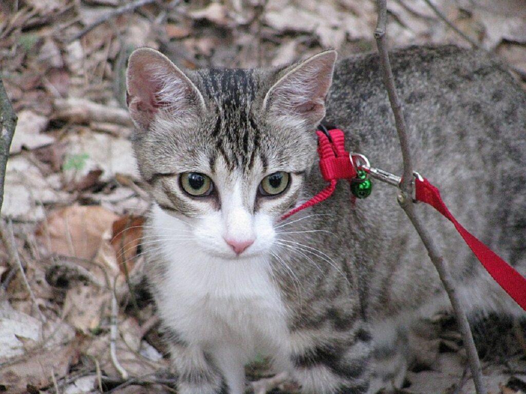 gatto natura cammina
