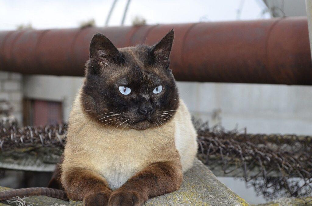 gatto balinese stupendo