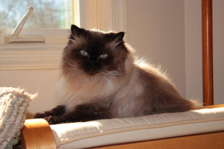 gatto peloso seduto
