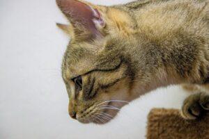 gatto soriano profilo
