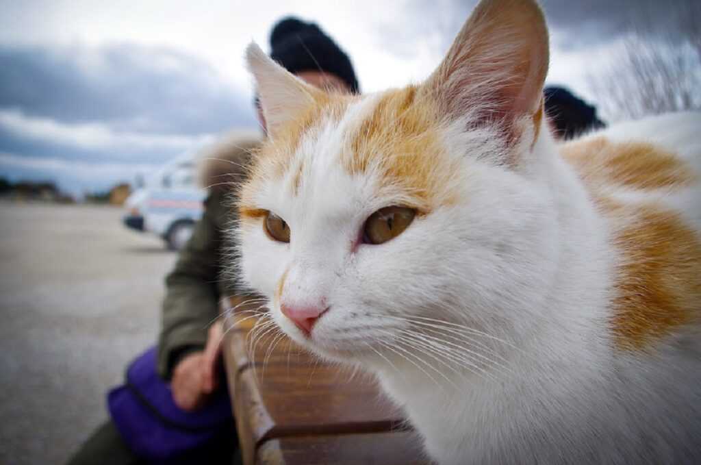 gatto arancione bianco