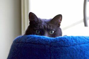 gatto grigio occhi