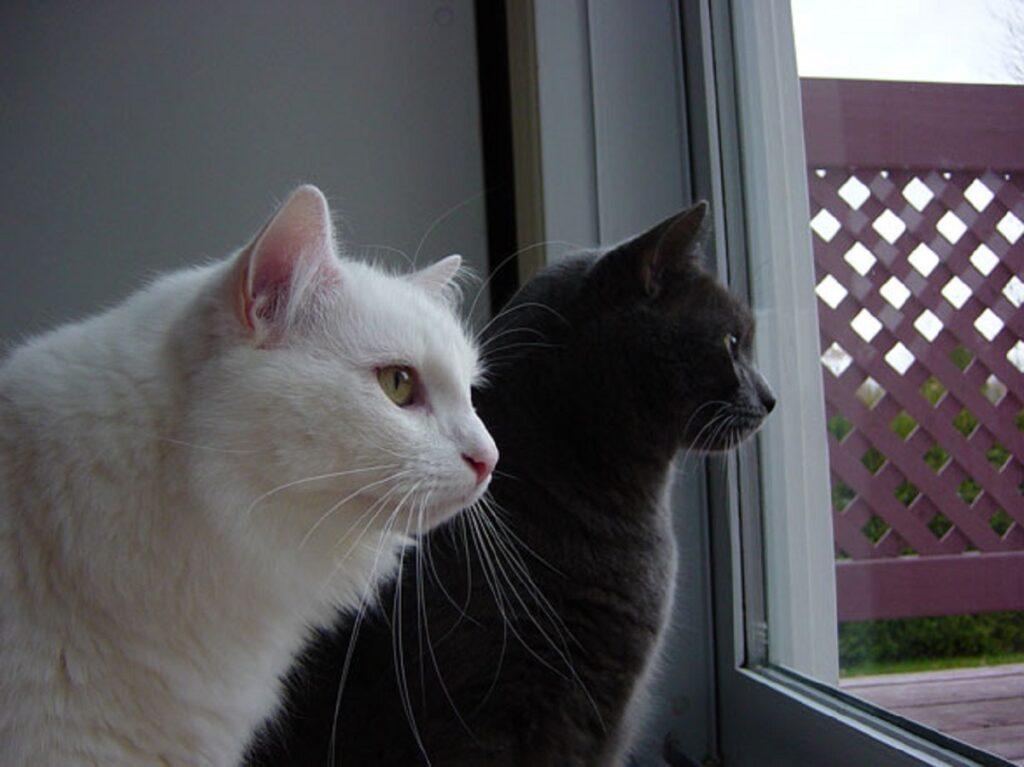 gatti bianco nero