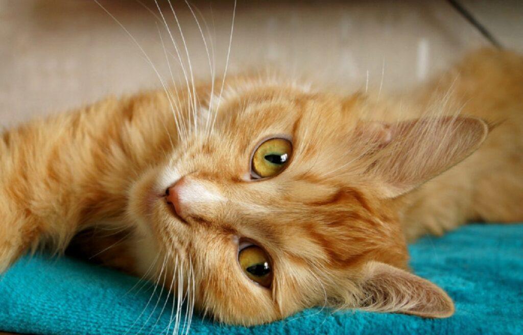 gattino arancione dolce