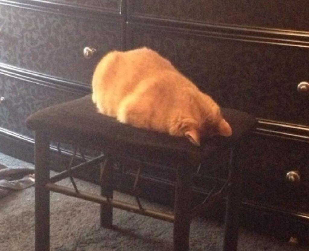 gatto rosso testa sedia