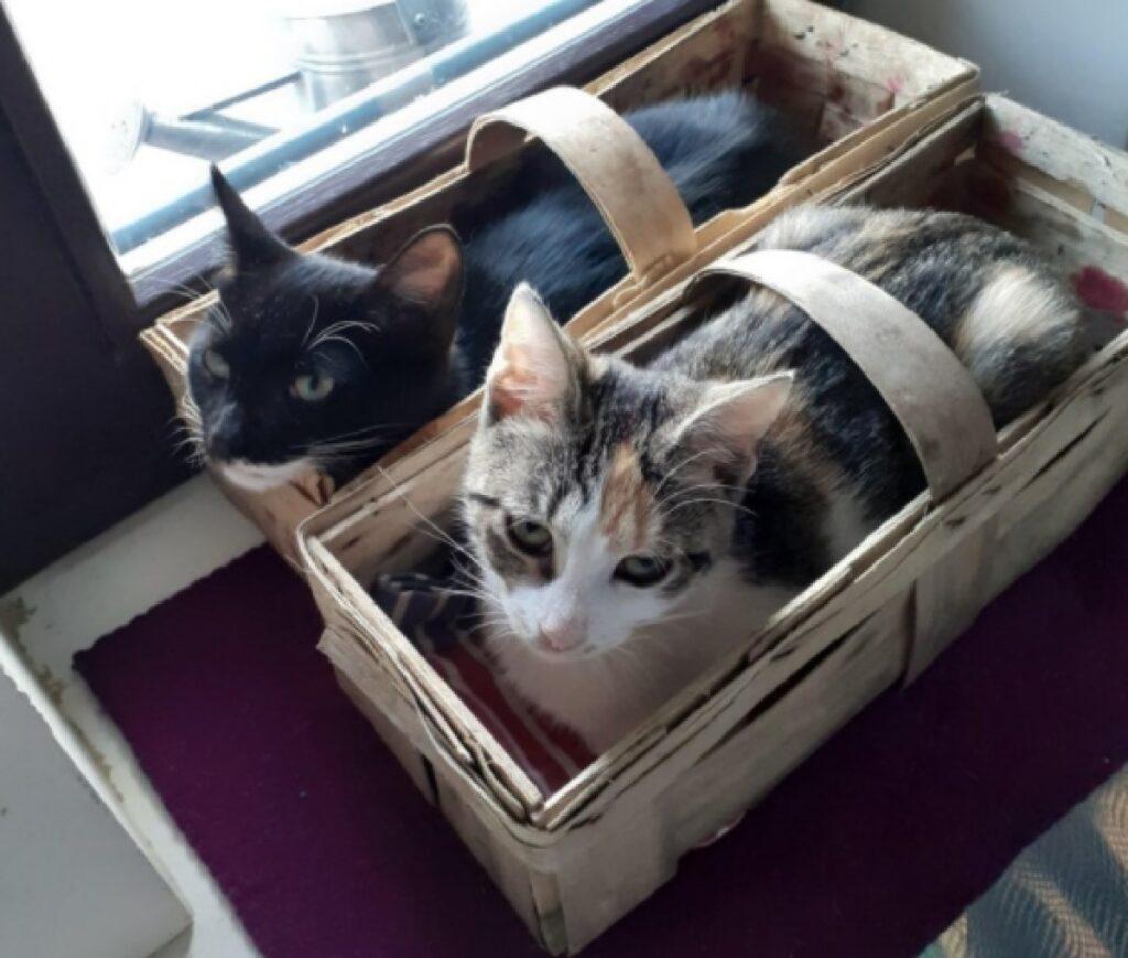 gatti dentro cestelli frutta