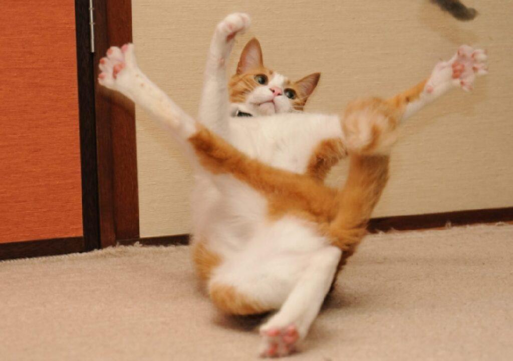 gatto che fa rovesciata casa