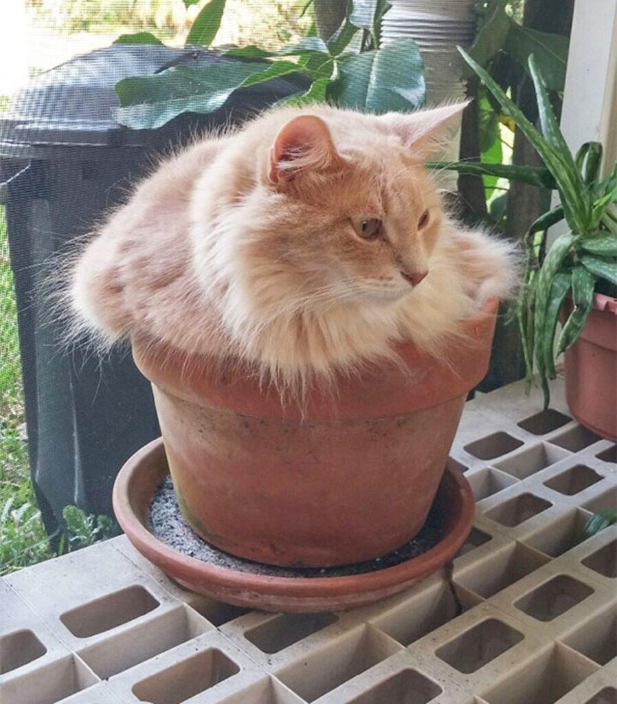 gatto peloso arancione
