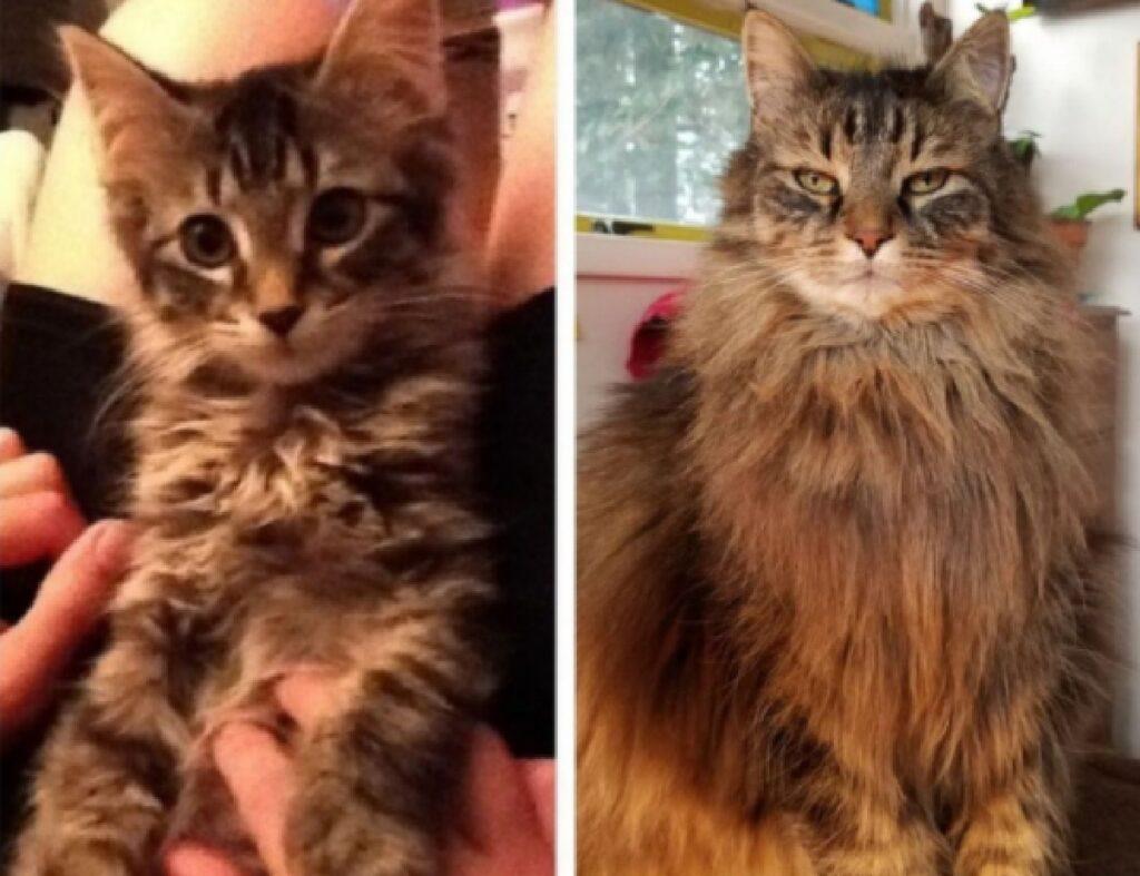 gatto pelo molto lungo crescita