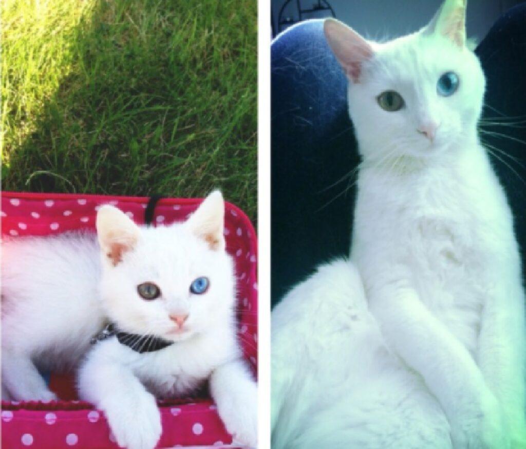 gatto bianco occhi particolari