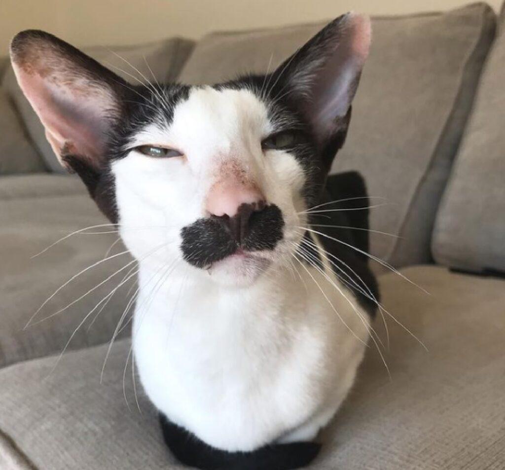 gatto bianco nero baffo