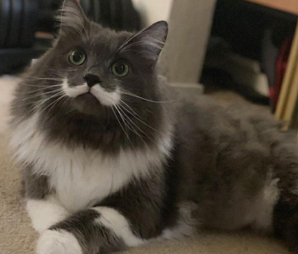 gatto grigio bianco con baffo