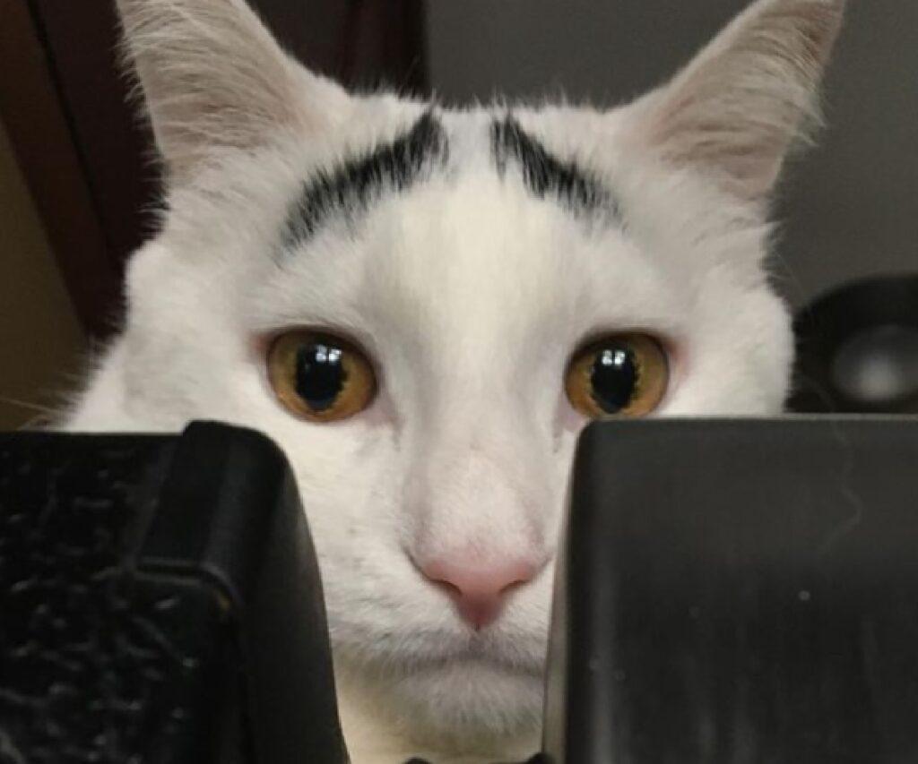 gatto occhi gialli sopracciglia