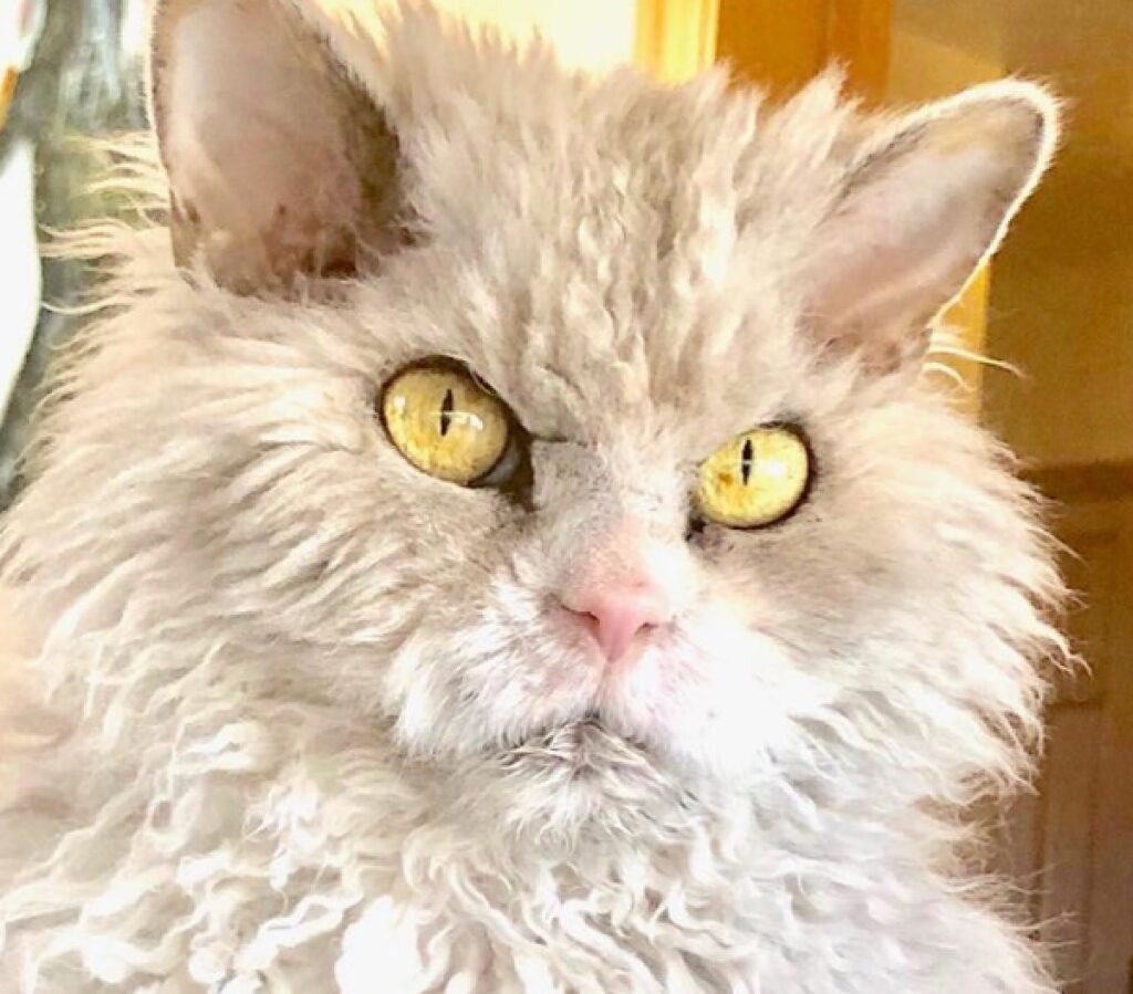 gatto pelo arruffato arrabbiato