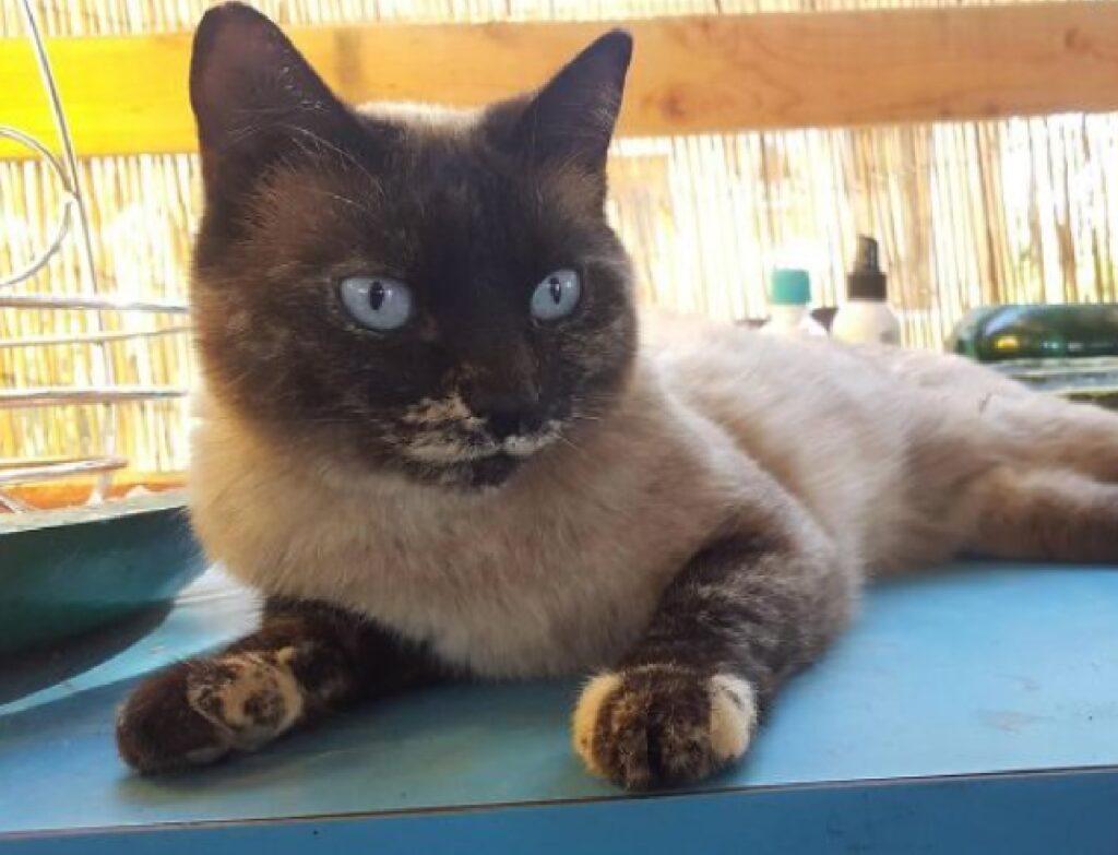 gatto persiano condizione pelo