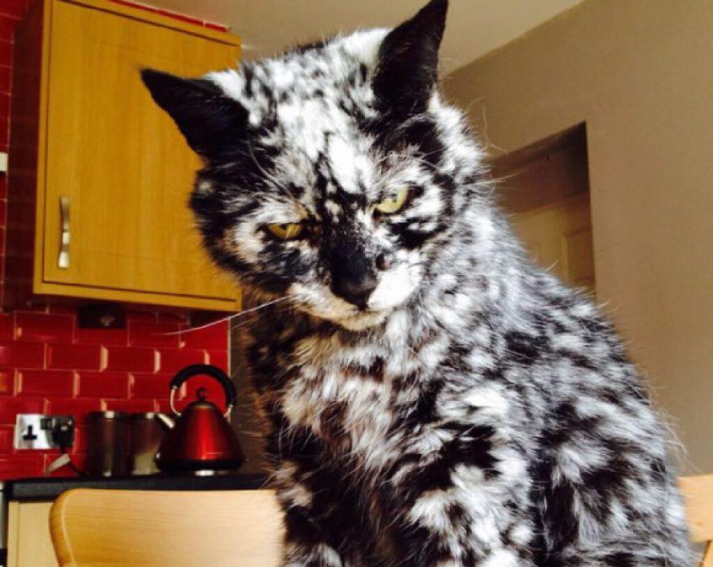 gatto bianco macchie nere