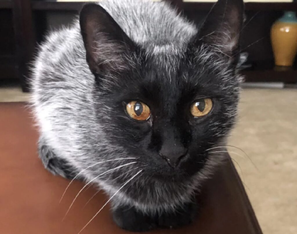 gatto occhi fanno da contrasto