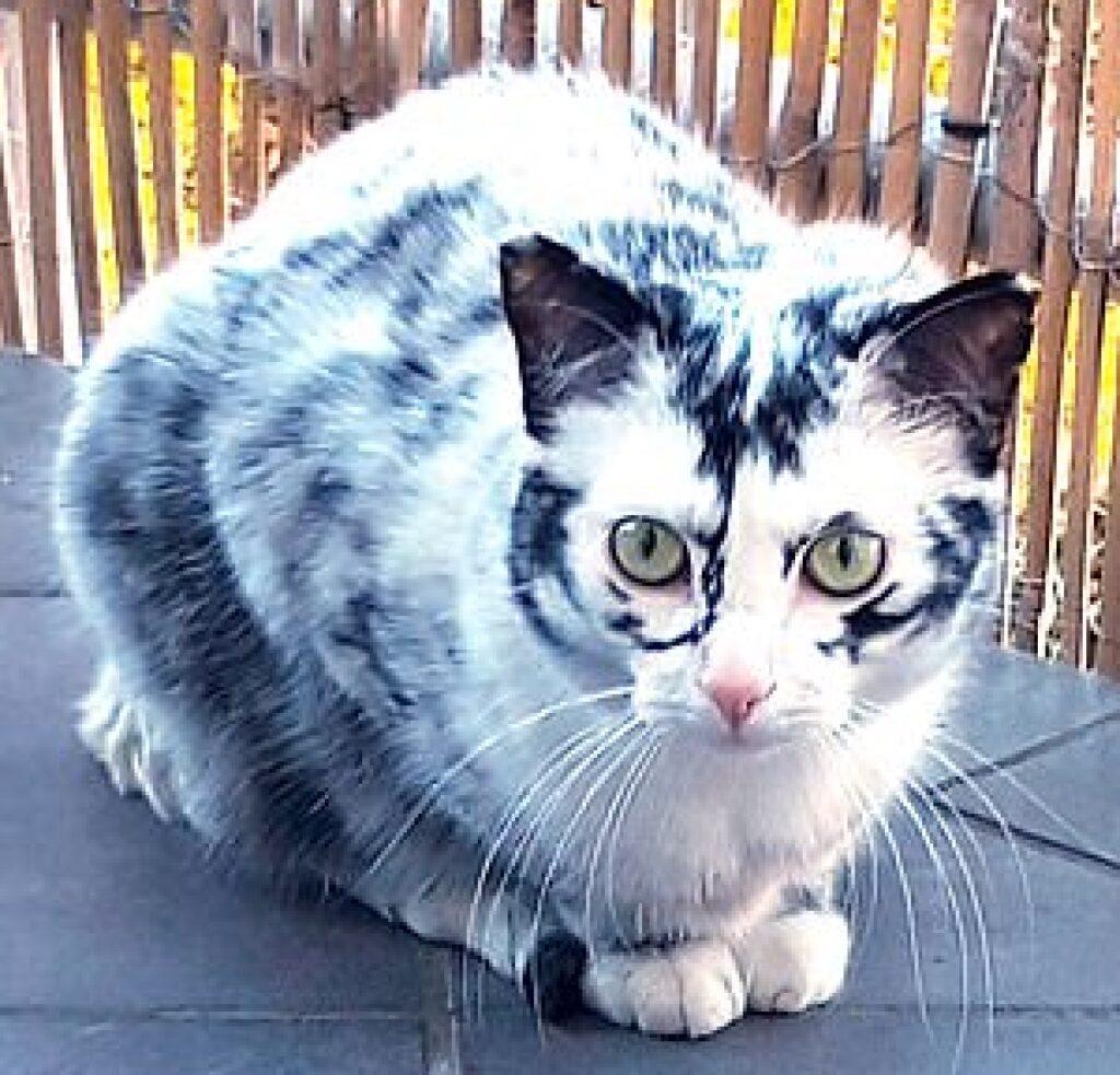 gatto totalmente bianco pezzi grigi