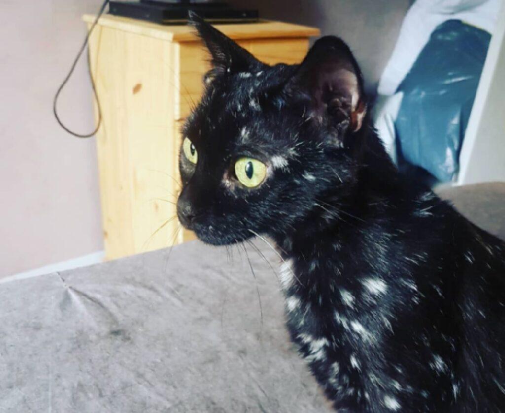 gatto principale nero macchie bianche