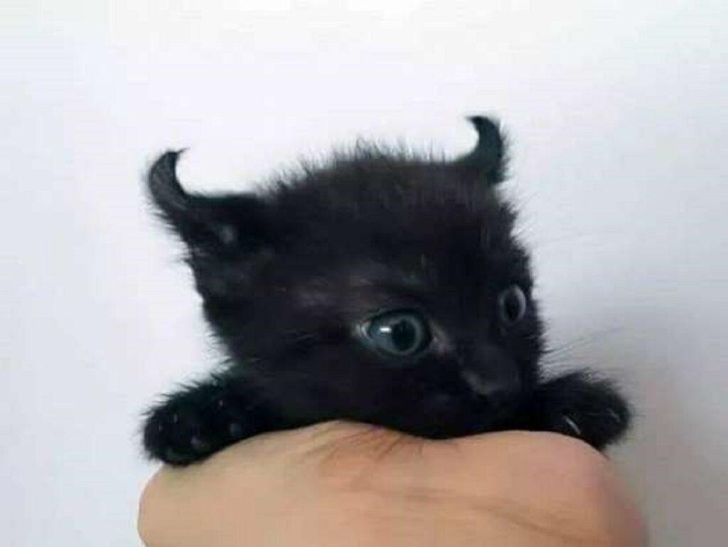 gattino nero corna