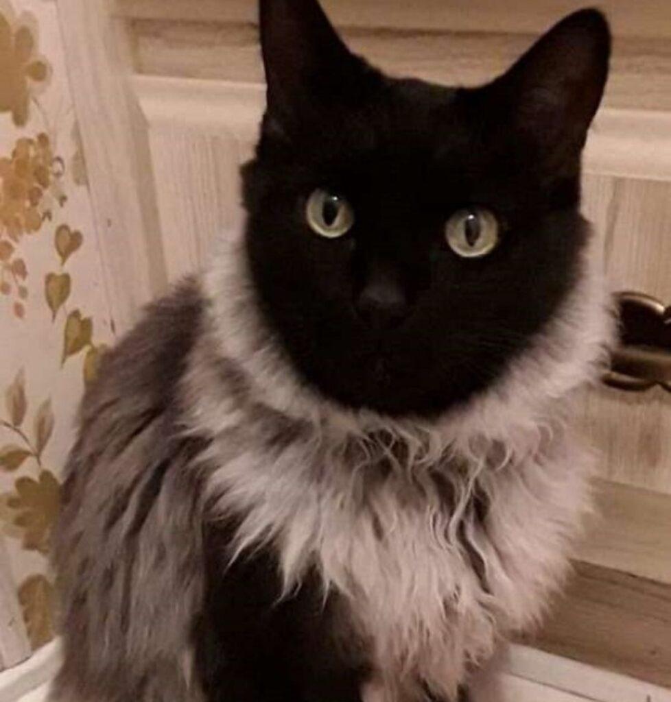 gatto pelo arruffato