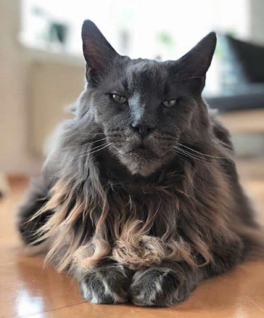 gatto peli lunghissimi
